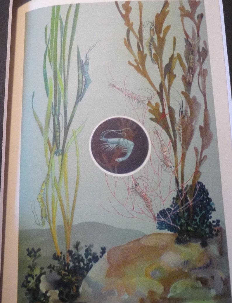 Shrimp Prawns Underwater color lithograph original 1934 ocean nautical print or matted marine life scientist science beautiful colors
