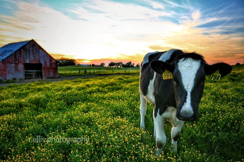 Photography Cattle Print. Title:  The Red Barn Sunset And image 0